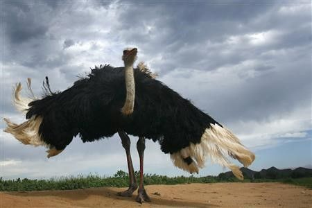 طرح پرورش شتر مرغ