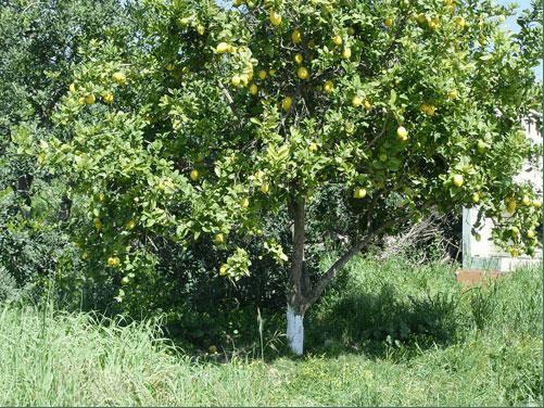 باغ لیمو ترش